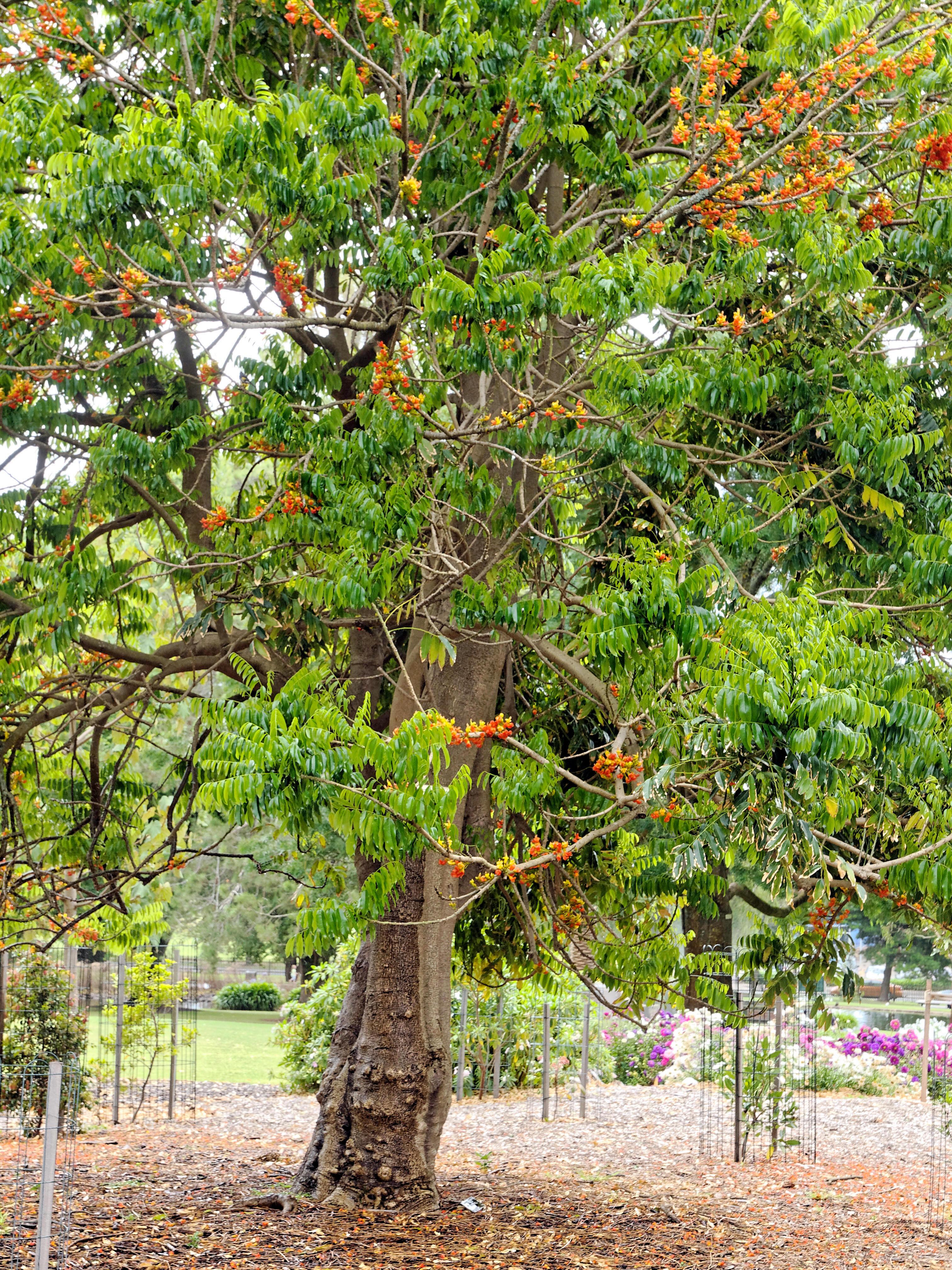 Castanospermum-australe-2.jpeg