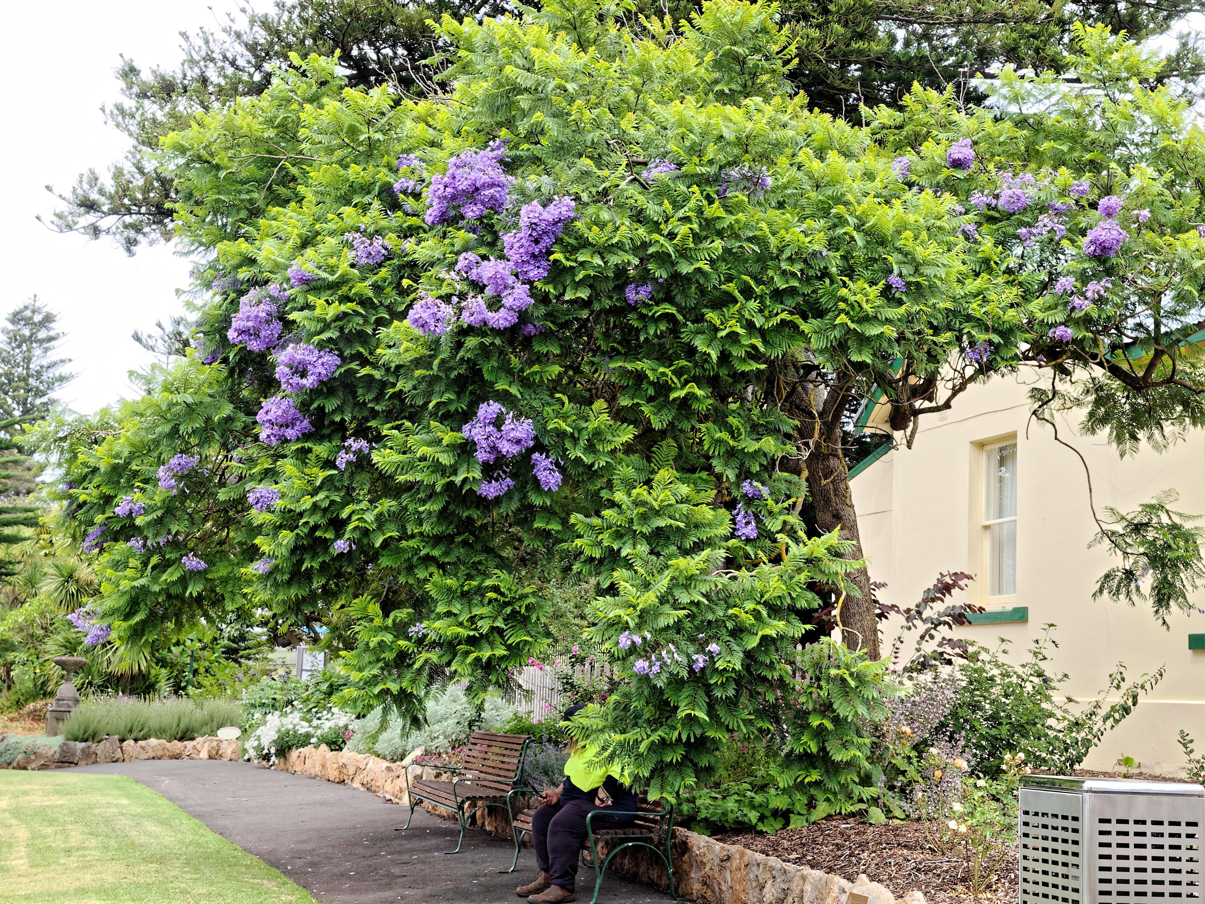 Jacaranda-mimosifolia-1.jpeg