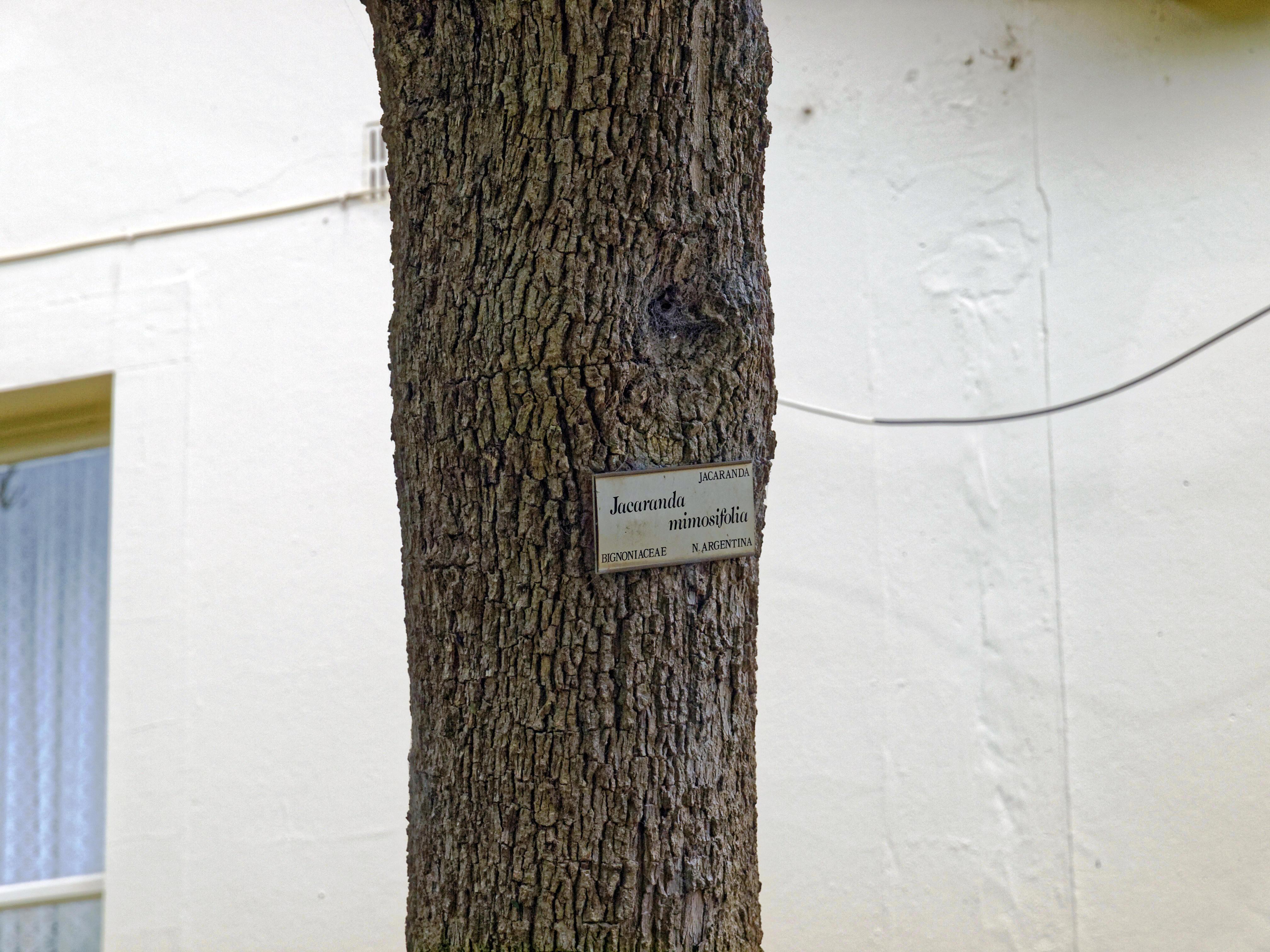 Jacaranda-mimosifolia-2.jpeg