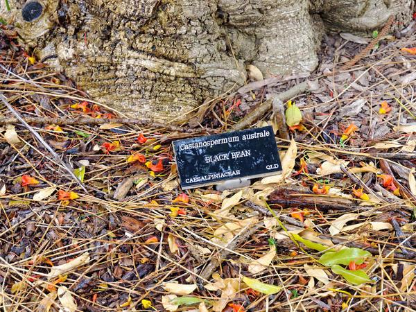 Castanospermum-australe-1.jpeg