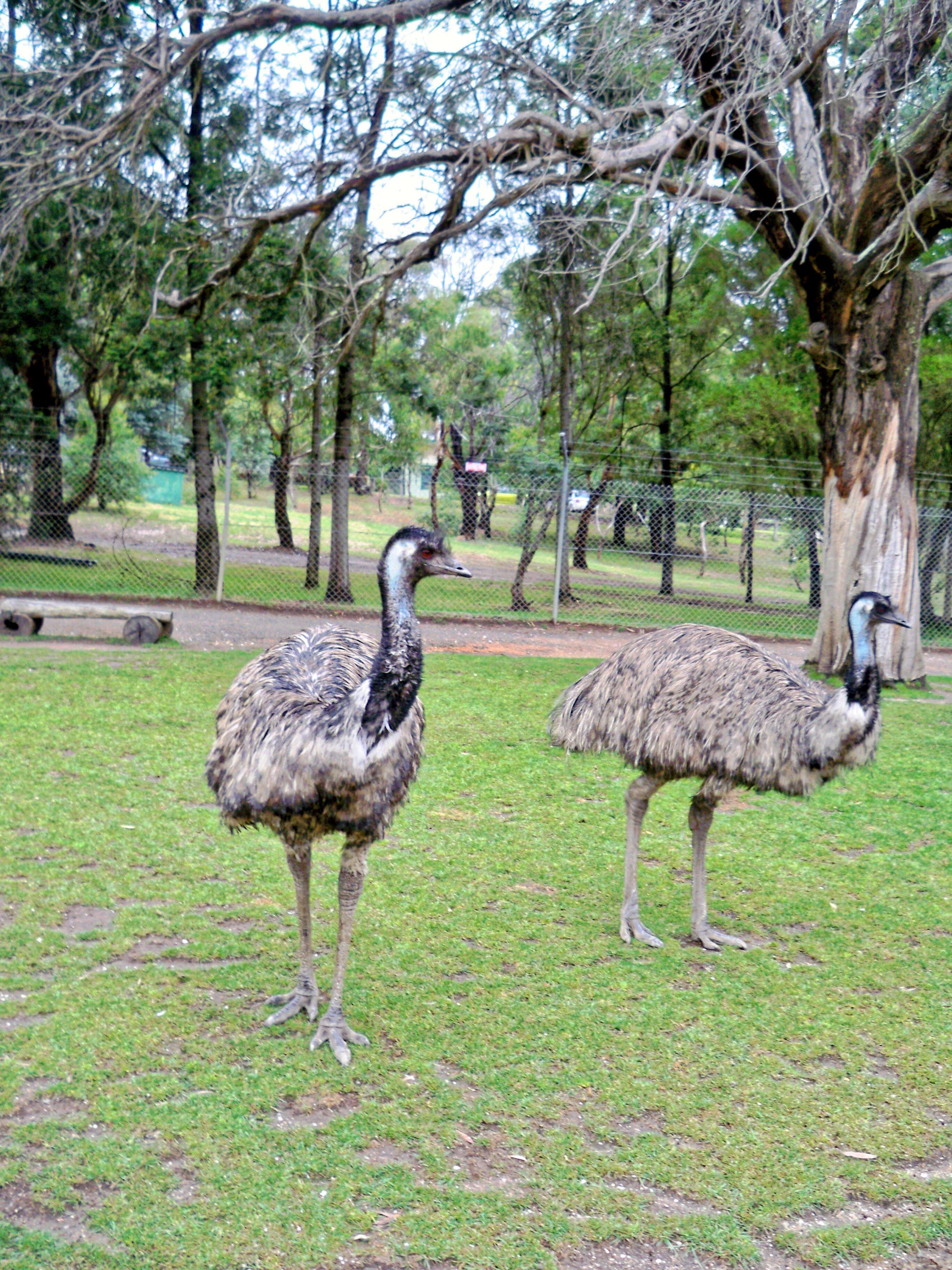 Emu-2.jpeg