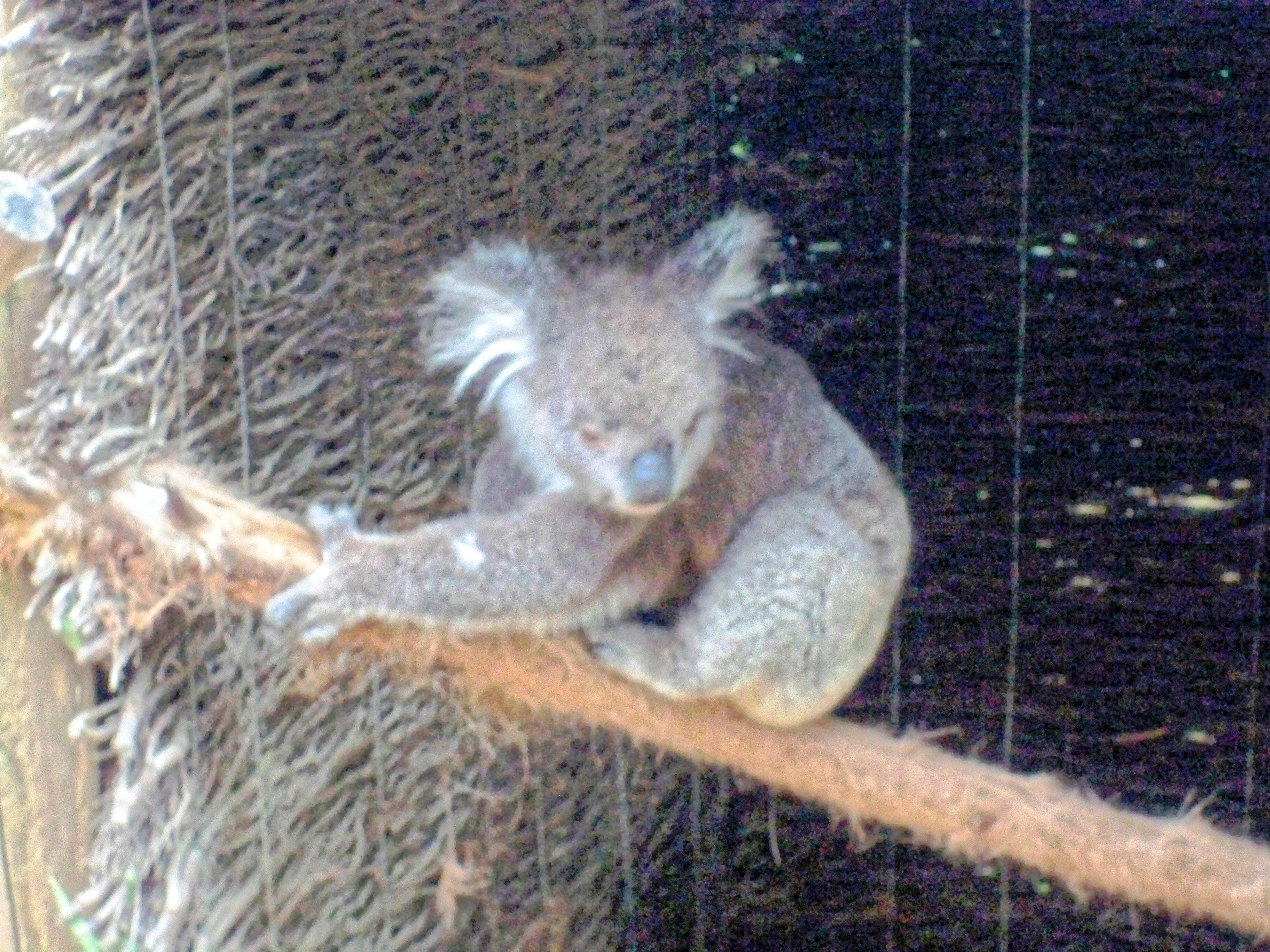 Koala-12.jpeg