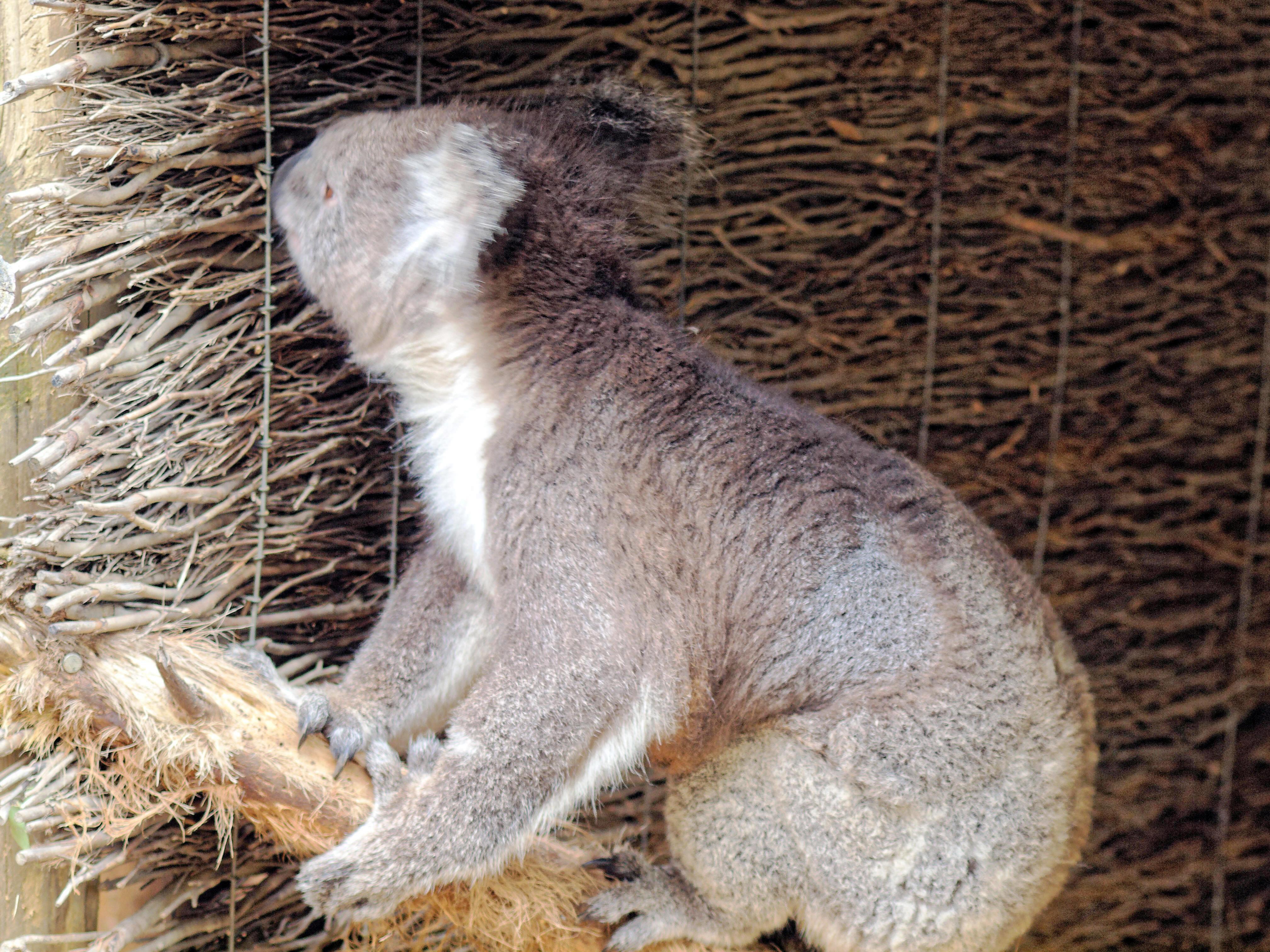 Koala-16.jpeg