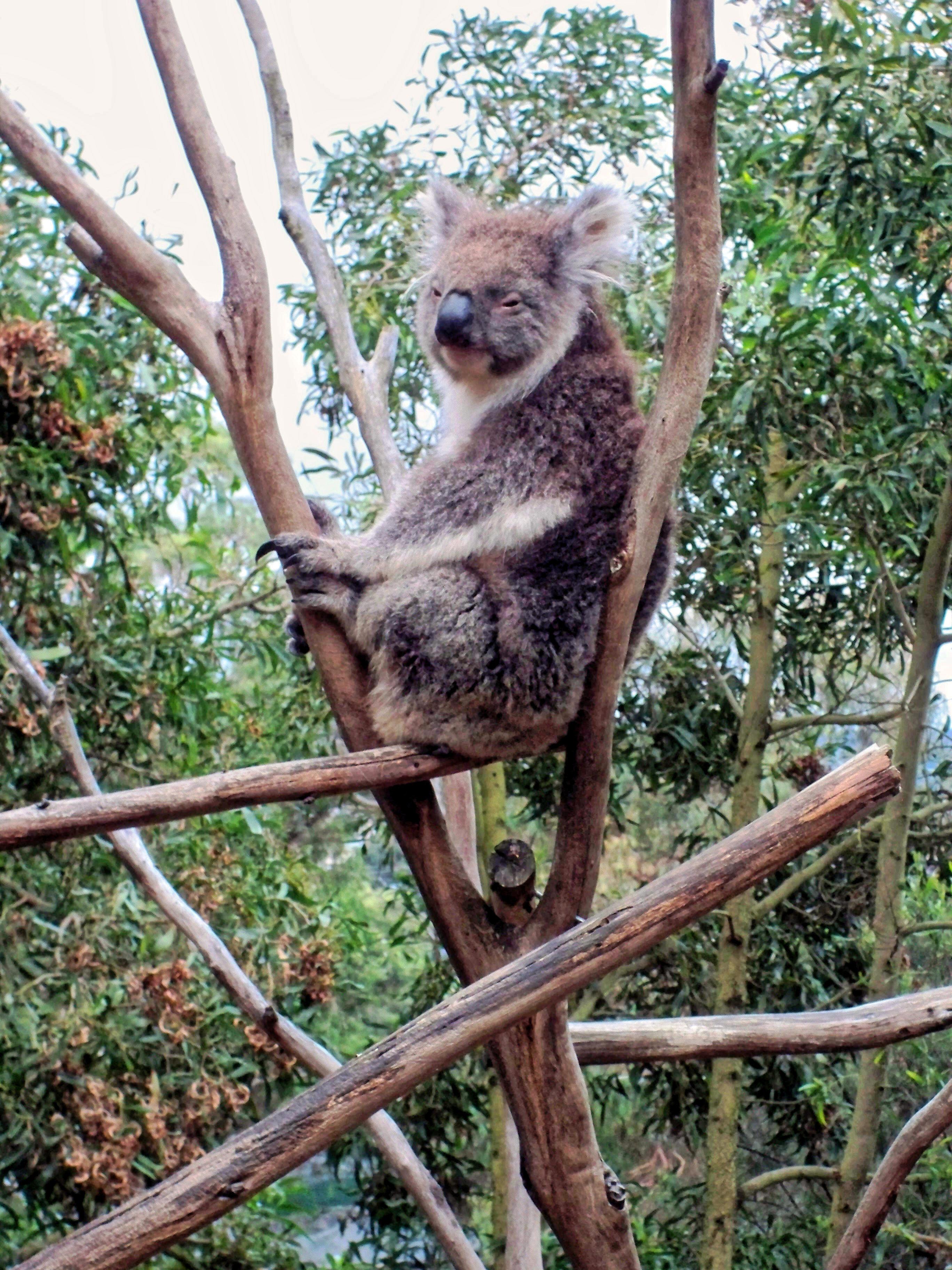 Koala-2.jpeg