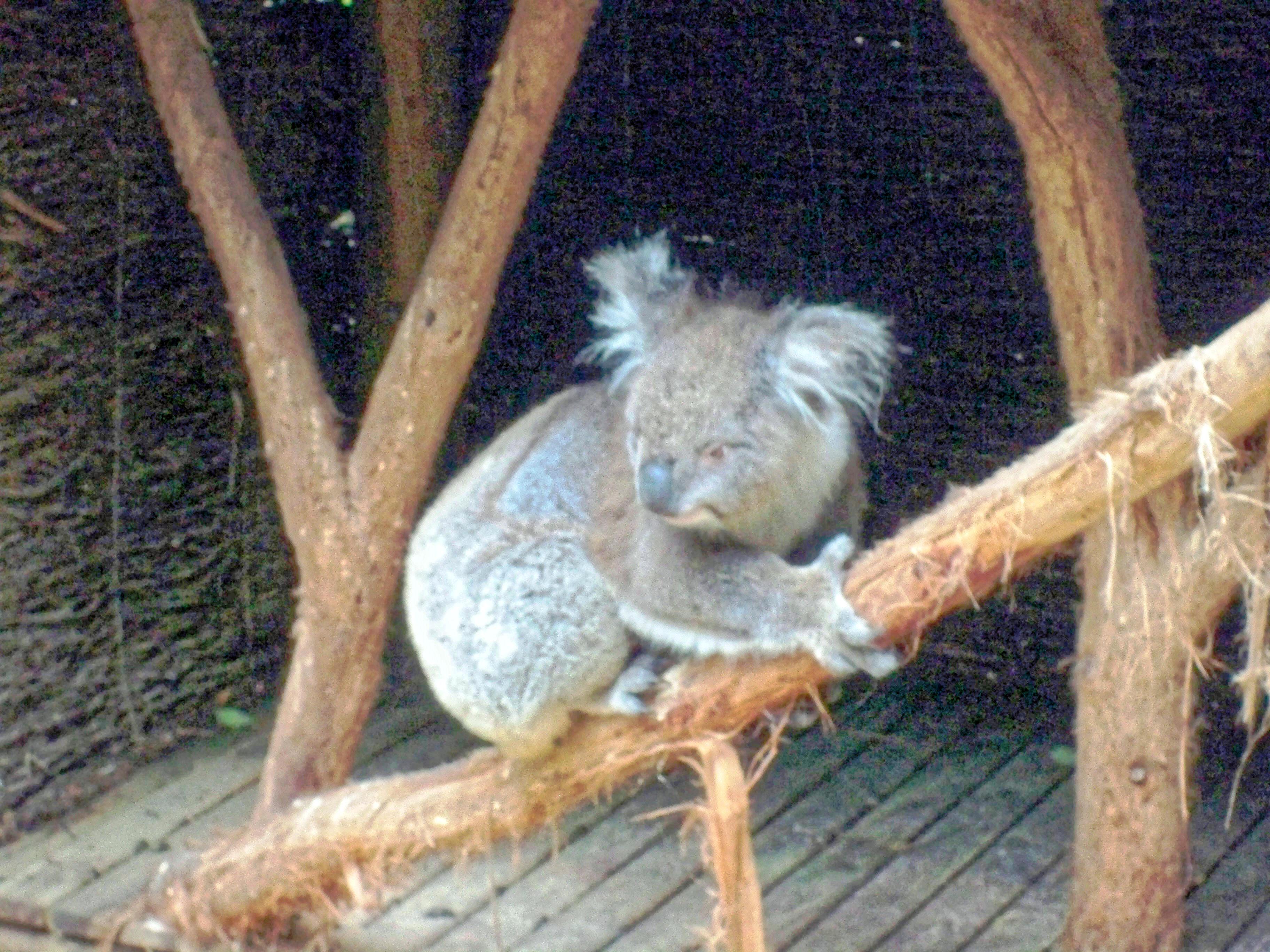 Koala-20.jpeg