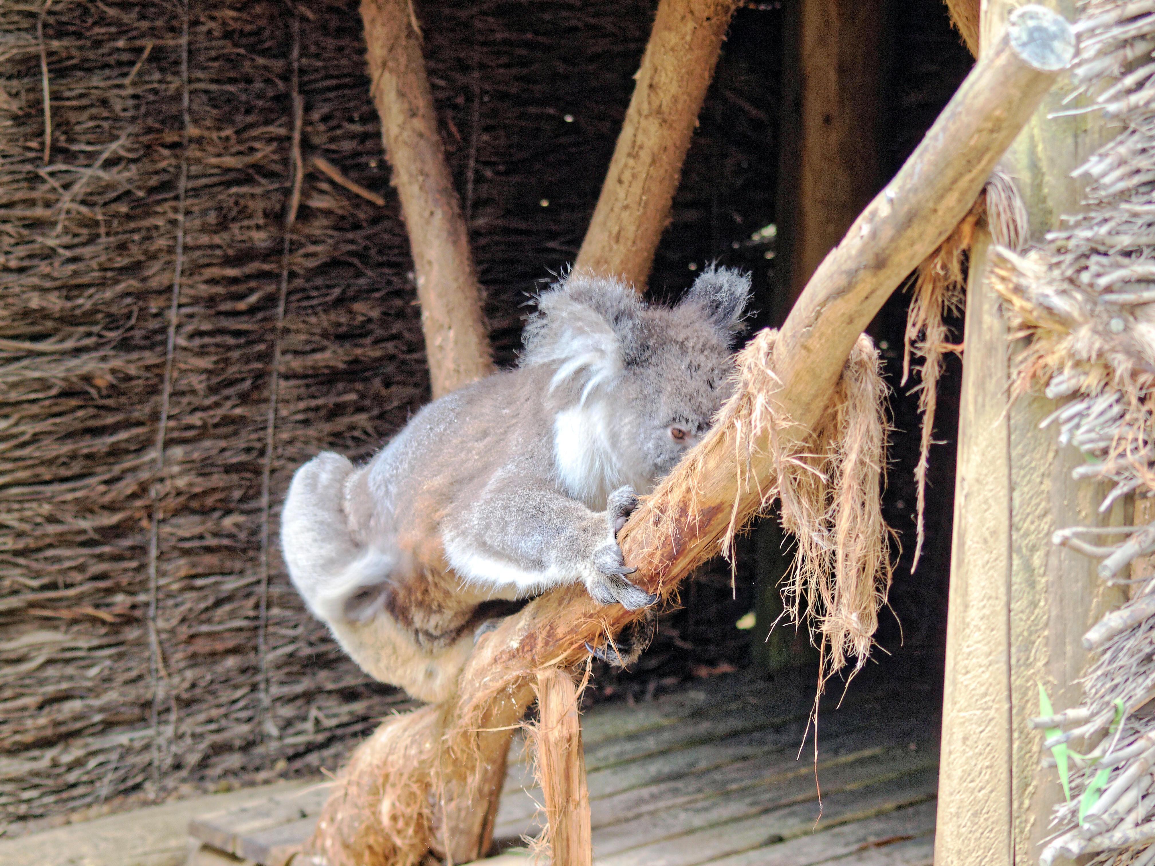 Koala-22.jpeg