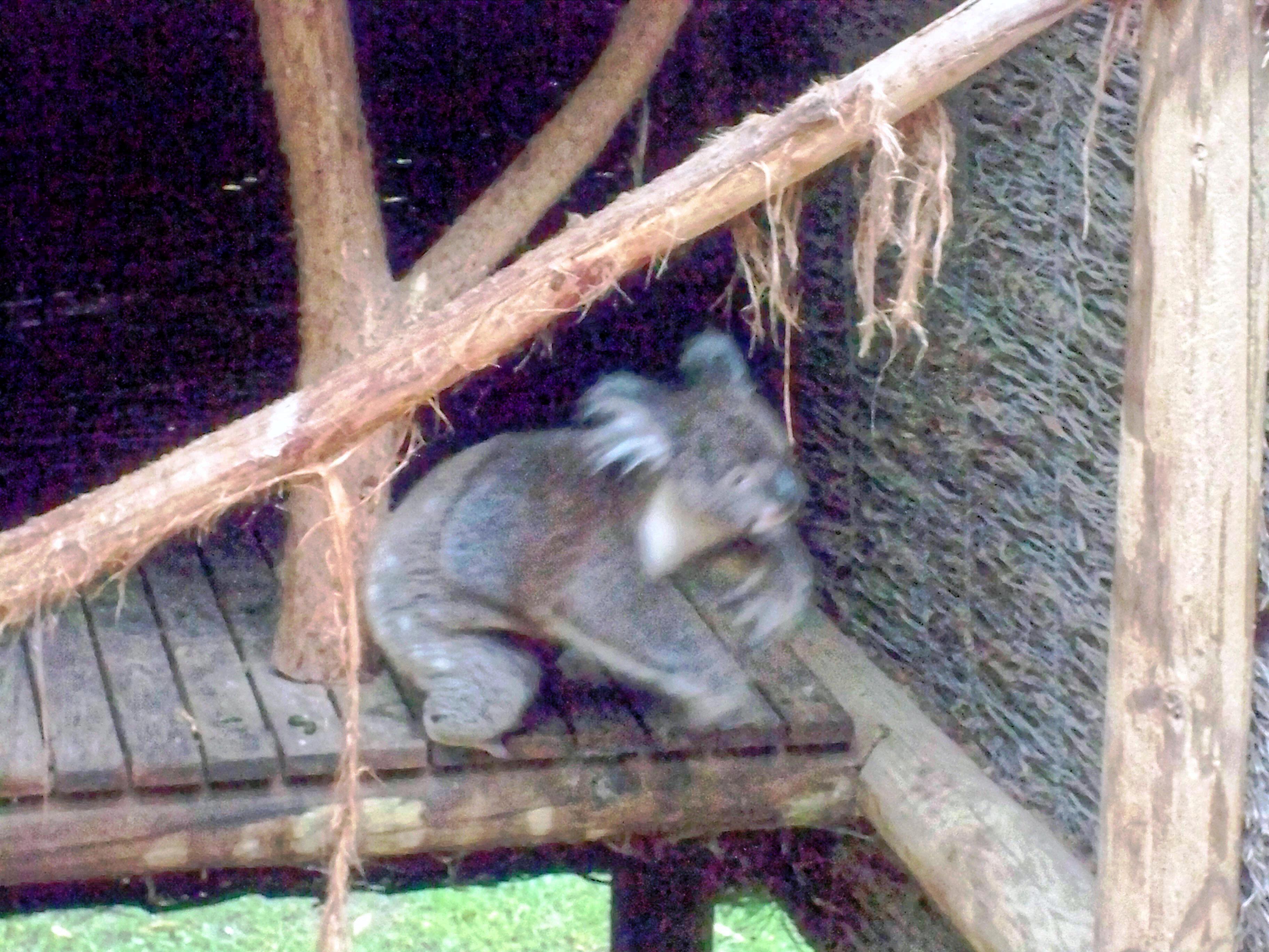 Koala-23.jpeg