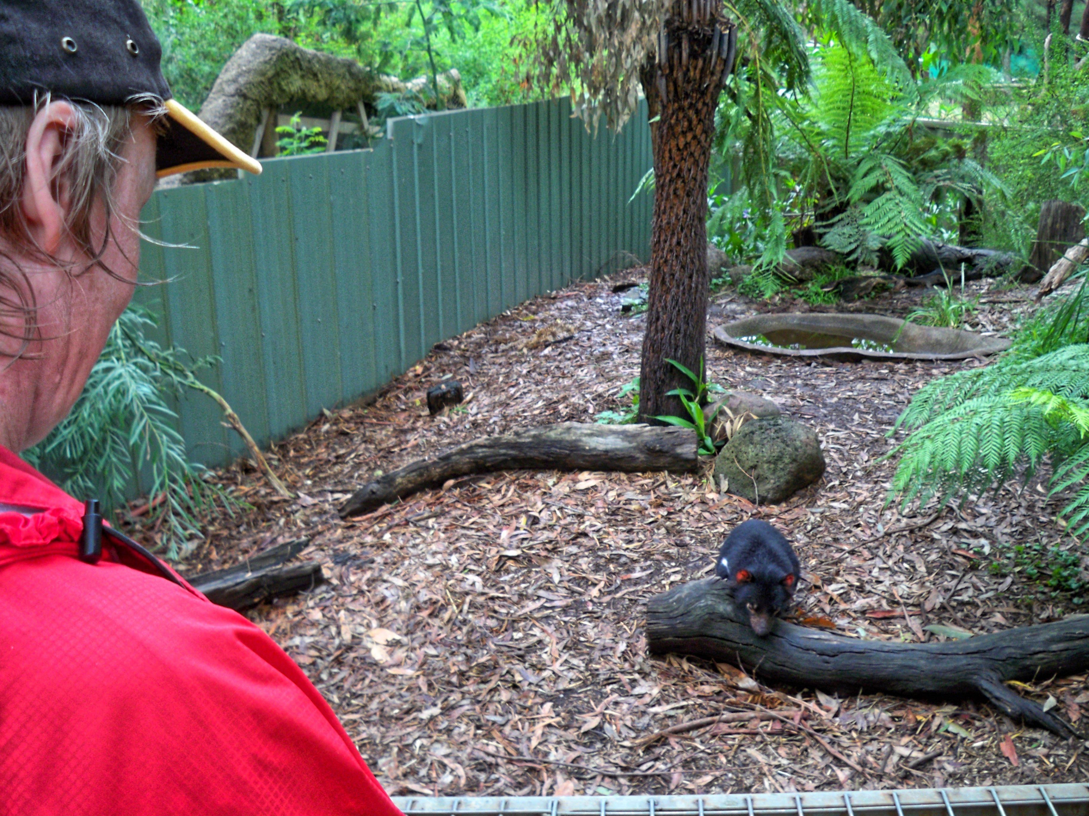 Tasmanian-devil-11.jpeg