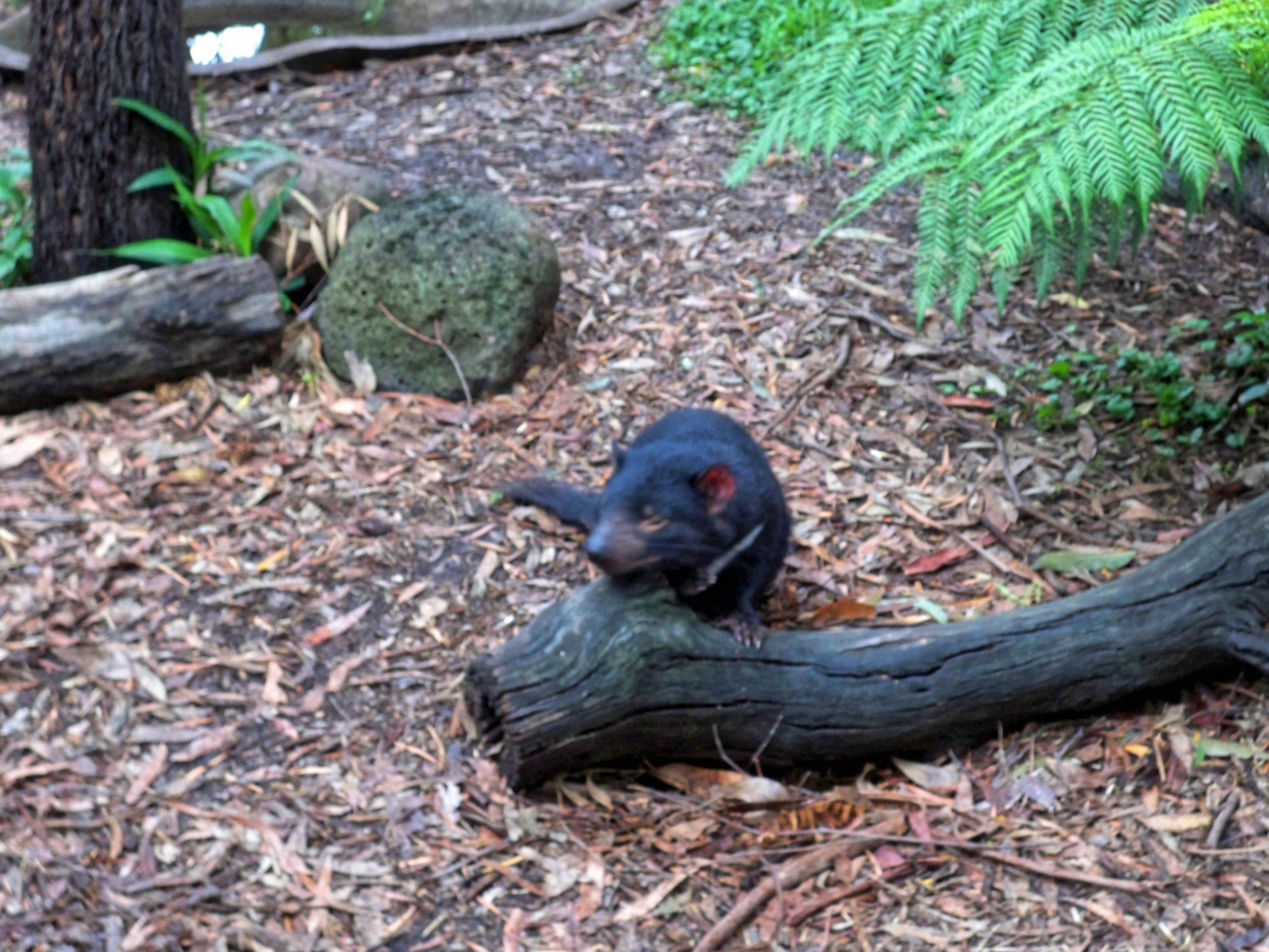Tasmanian-devil-12.jpeg