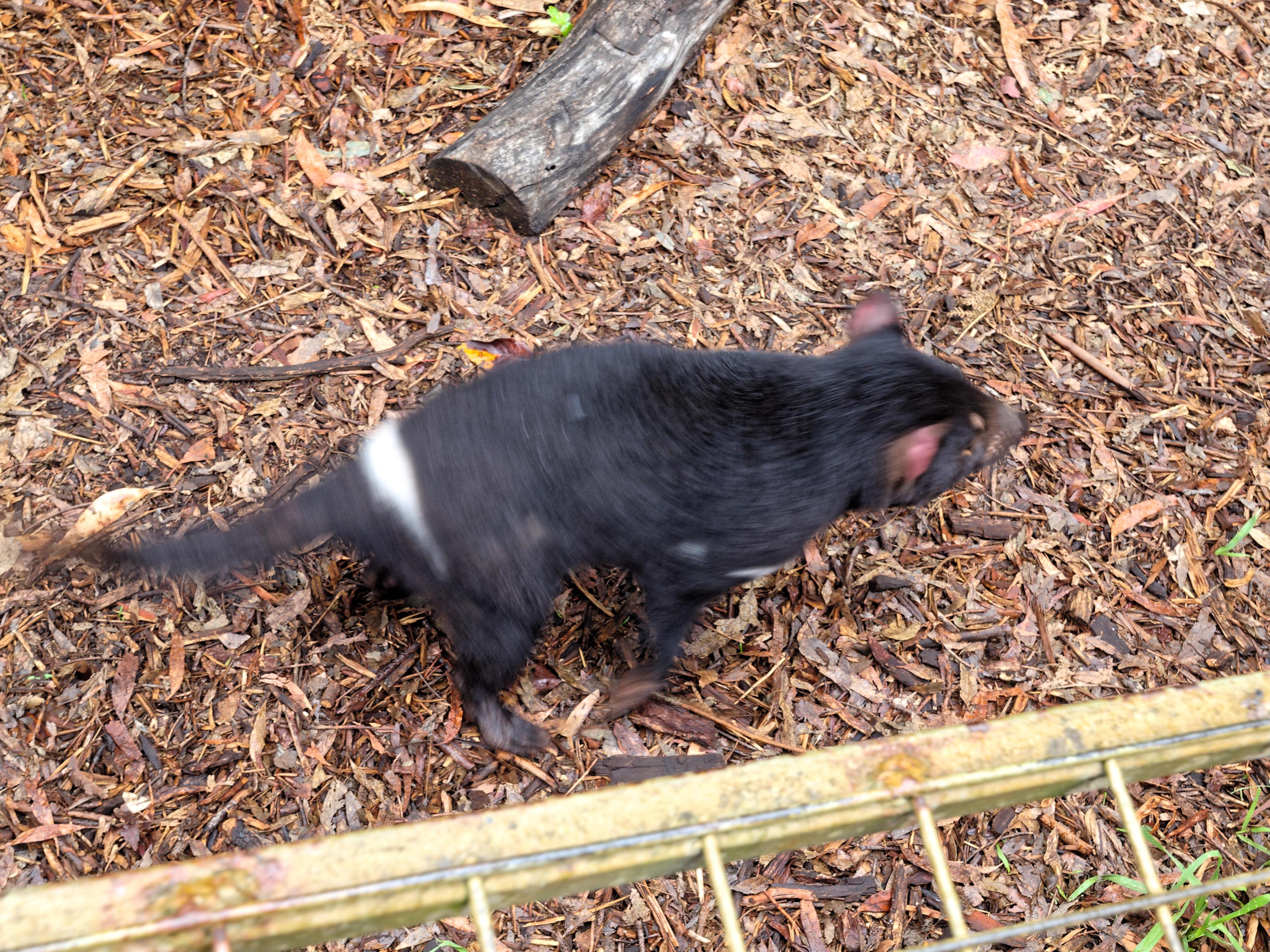 Tasmanian-devil-2.jpeg