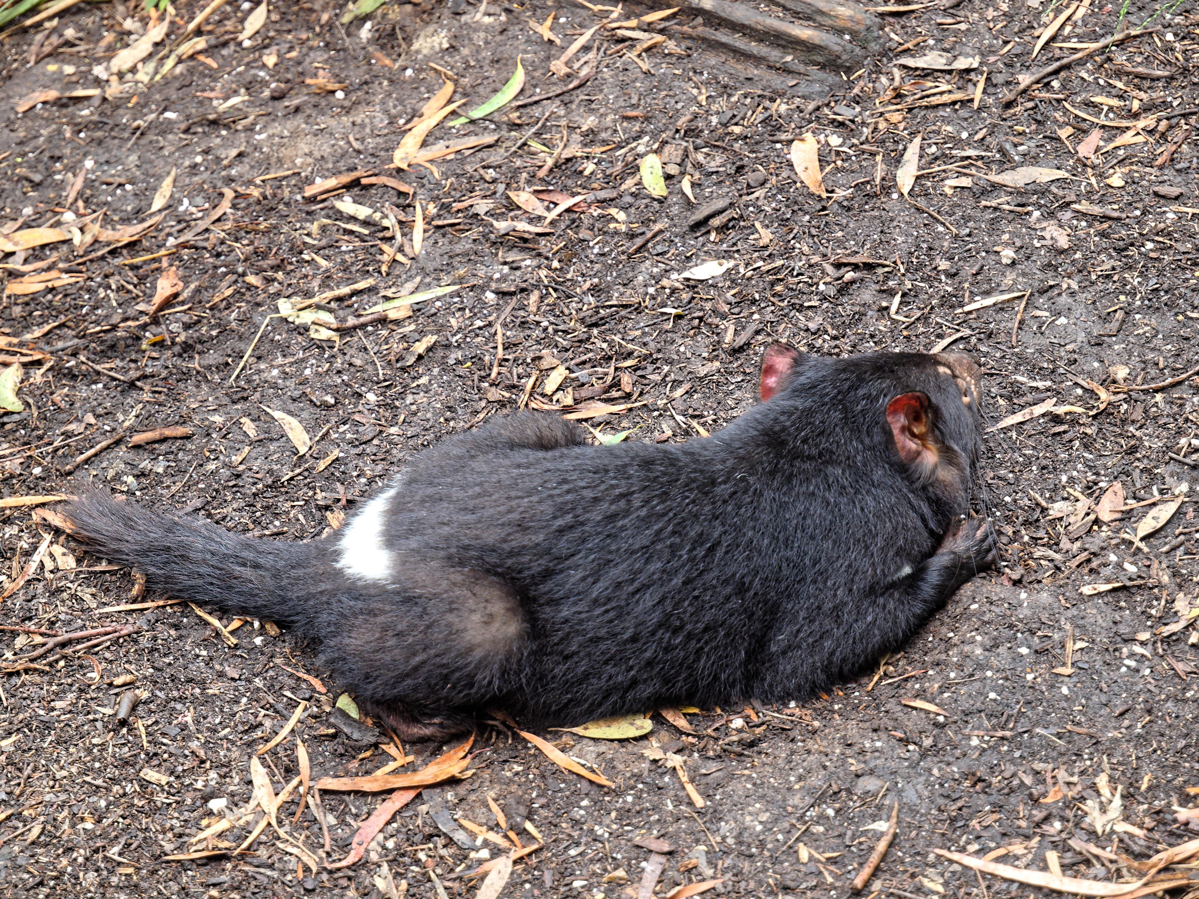 Tasmanian-devil-8.jpeg