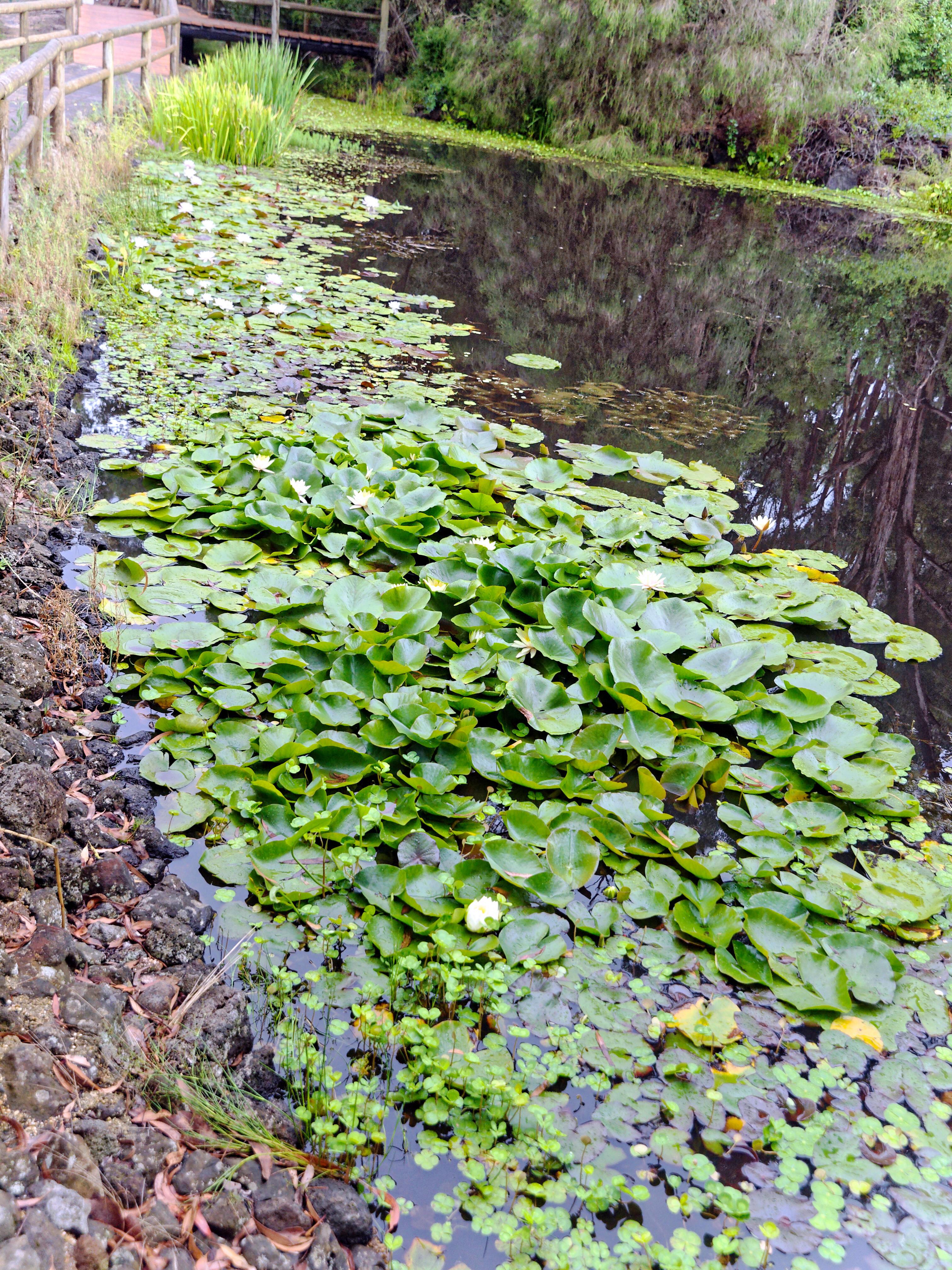 Water-lilies-2.jpeg