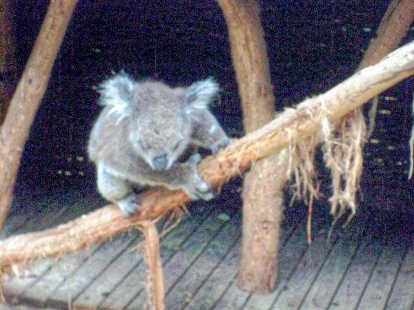 Koala-17.jpeg