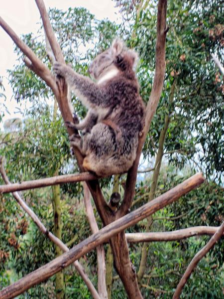 Koala-18.jpeg