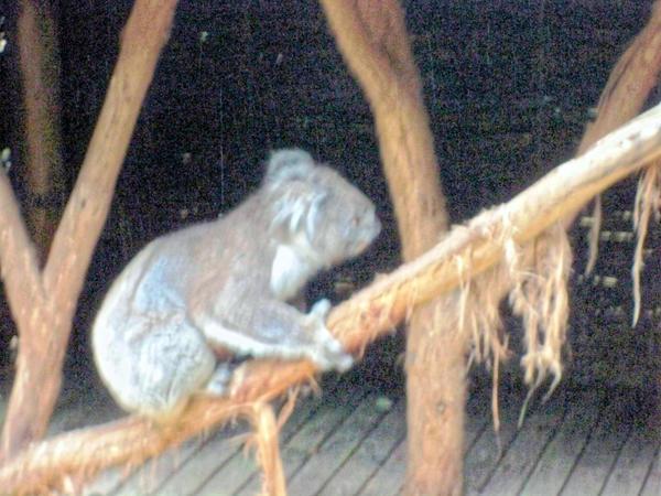 Koala-21.jpeg