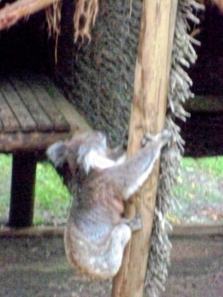 Koala-24.jpeg