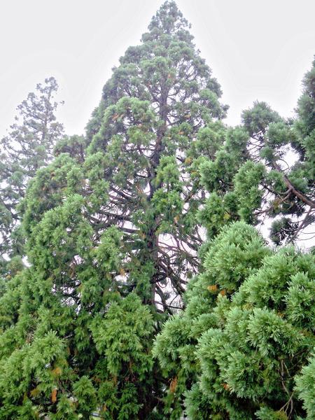 Sequoiadendron-giganteum-1.jpeg