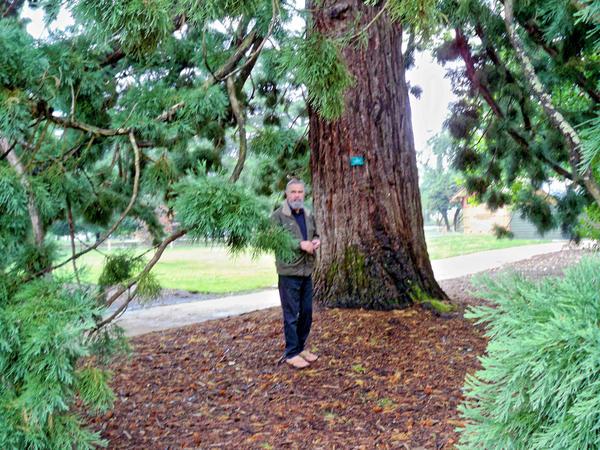 Sequoiadendron-giganteum-2.jpeg