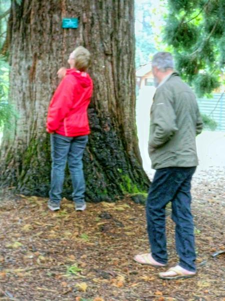 Sequoiadendron-giganteum-4.jpeg
