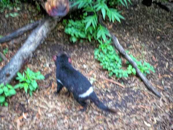 Tasmanian-devil-1.jpeg