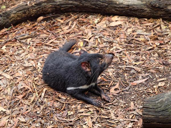 Tasmanian-devil-10.jpeg