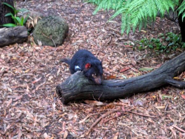 Tasmanian-devil-13.jpeg