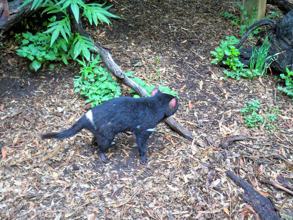 Tasmanian-devil-3.jpeg
