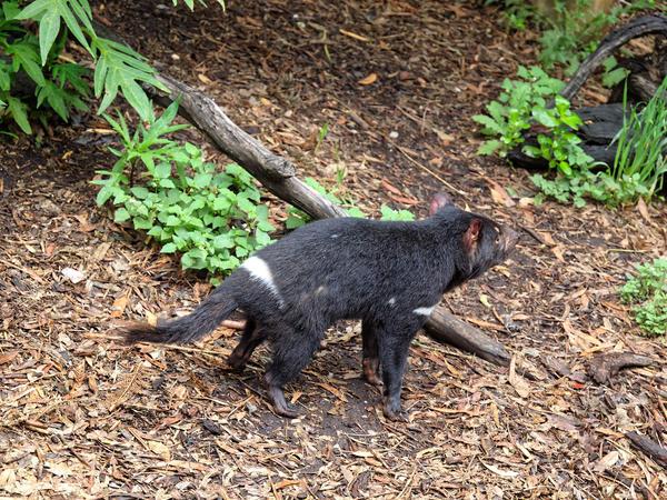 Tasmanian-devil-6.jpeg