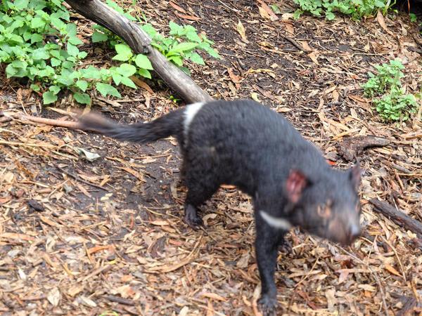 Tasmanian-devil-7.jpeg