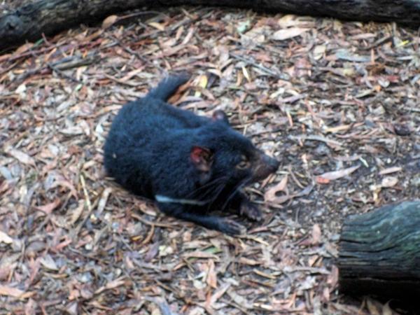 Tasmanian-devil-9.jpeg