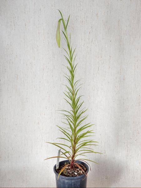 Lilium-formosanum-2.jpeg