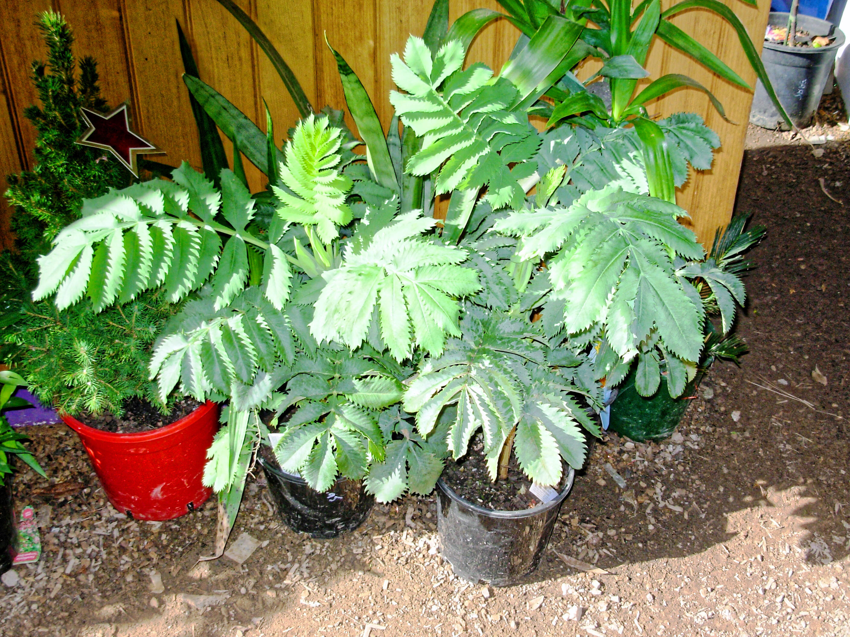 This should be Melianthus-major-1.jpeg.  Is it missing?