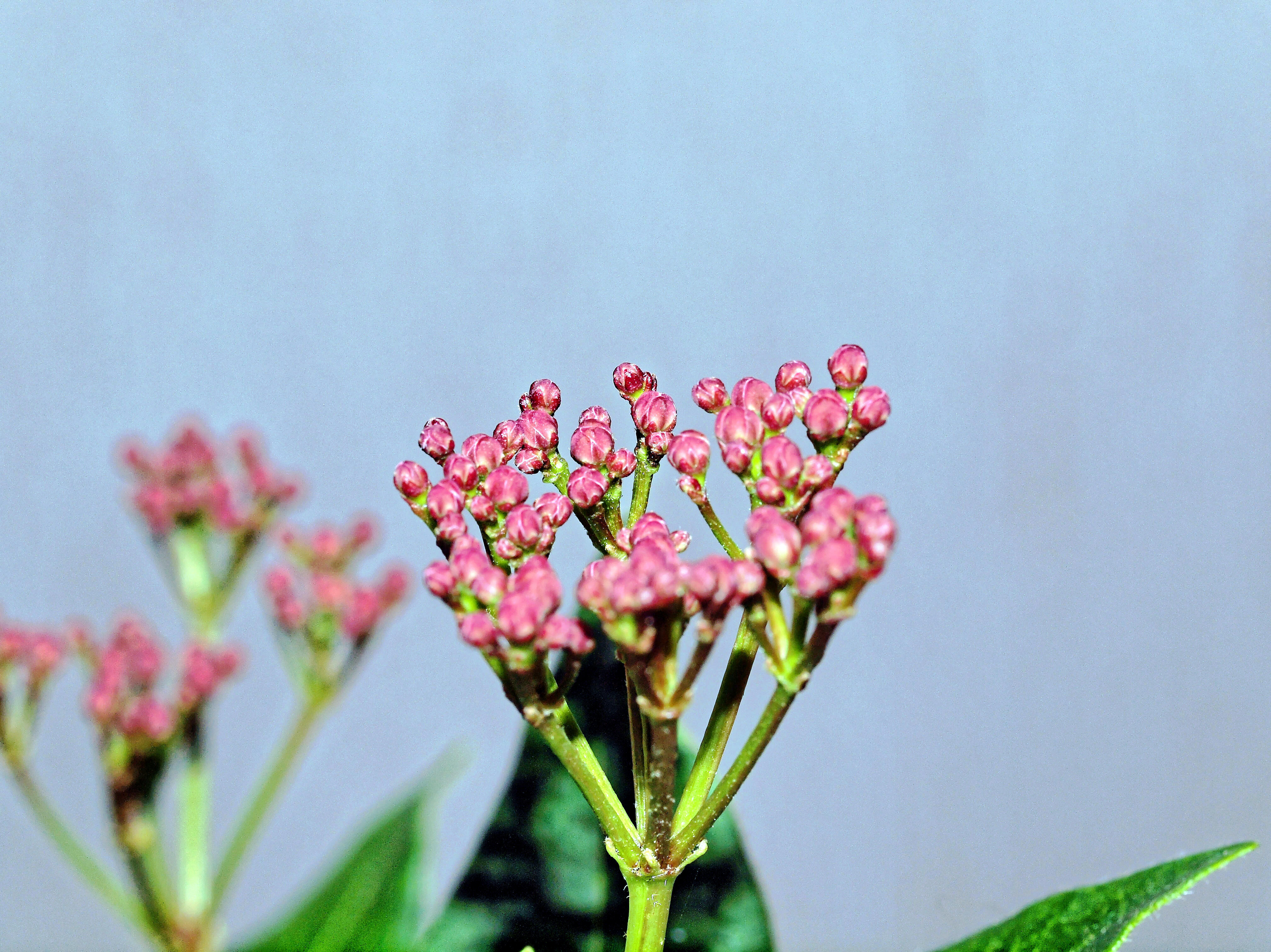 This should be Viburnum-buds-2.jpeg.  Is it missing?