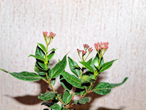 Viburnum-buds-1.jpeg