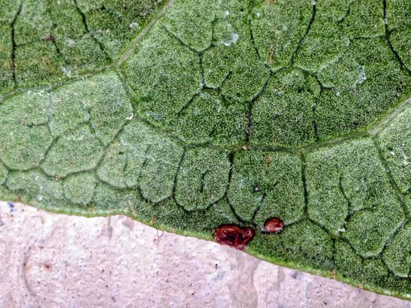 Viburnum-leaf-2.jpeg