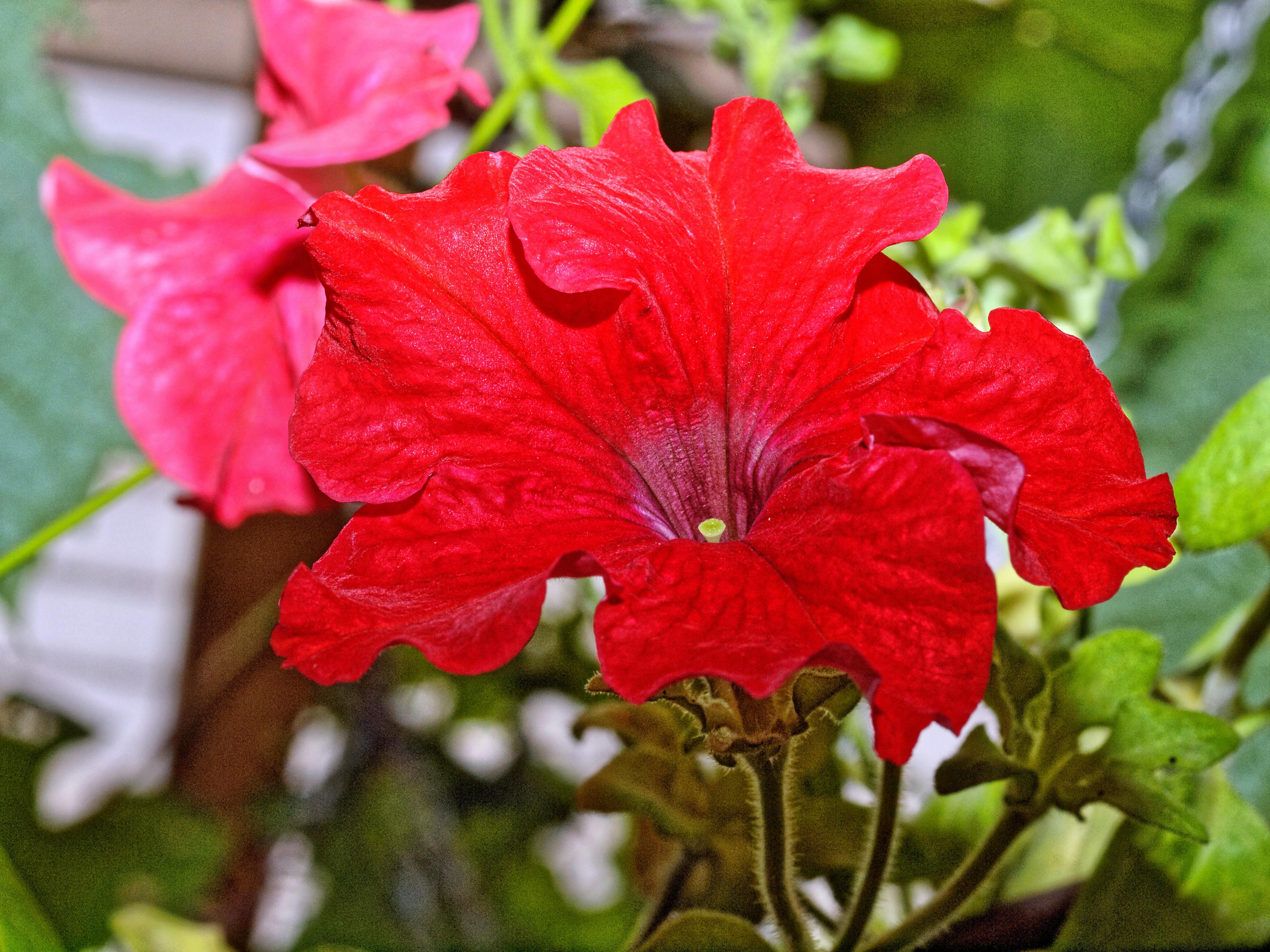 Petunias-4.jpeg