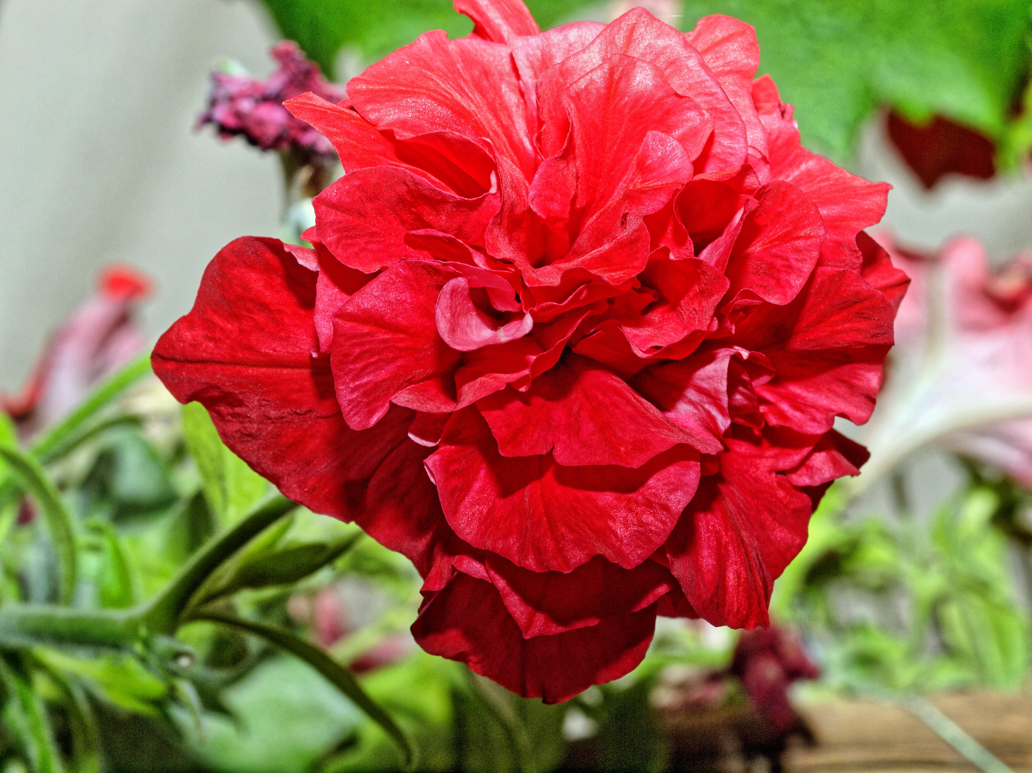 Petunias-5.jpeg