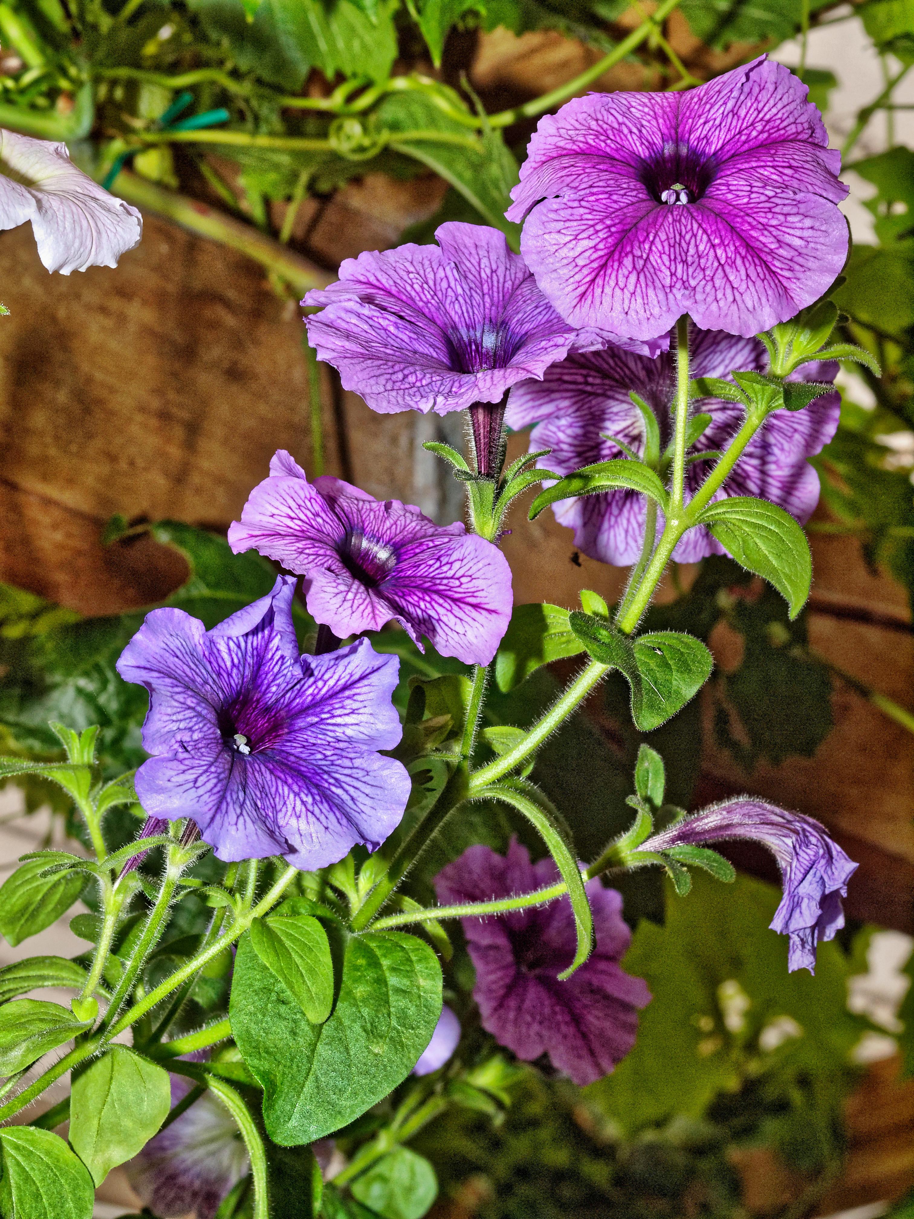 Petunias-6.jpeg