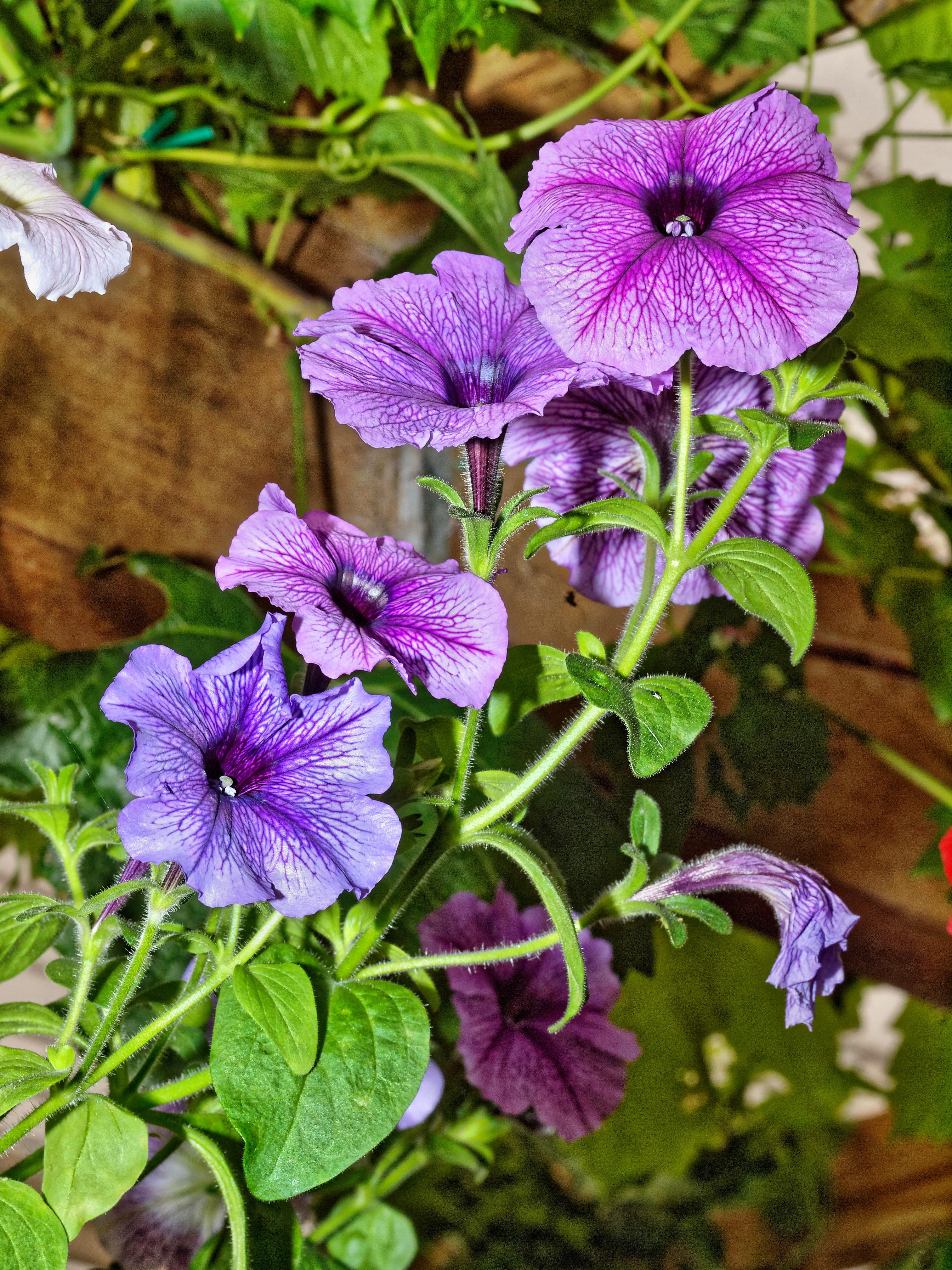 Petunias-7.jpeg