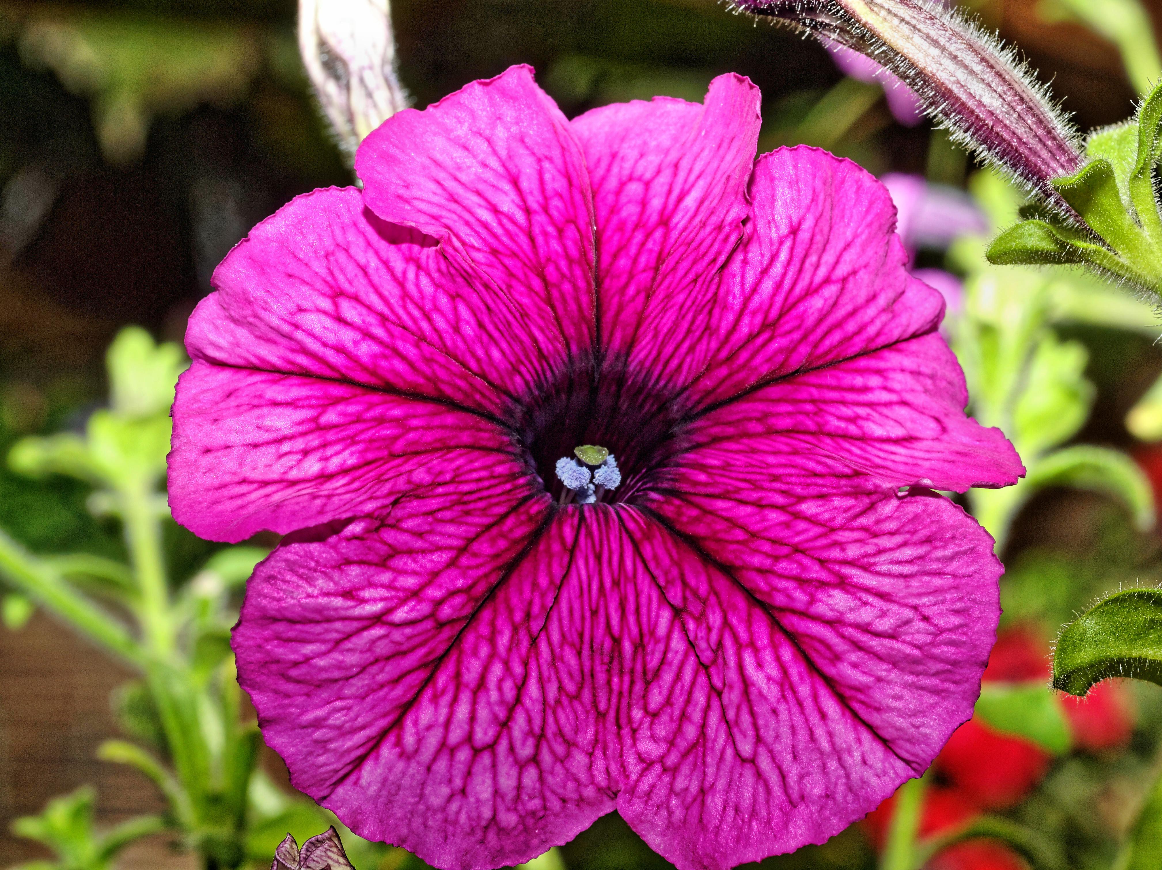Petunias-8.jpeg