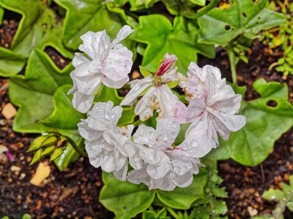 Pelargonium-5.jpeg