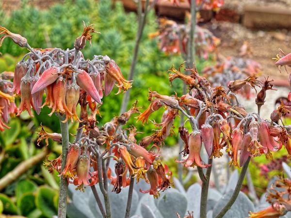 Succulent-flowers-2.jpeg