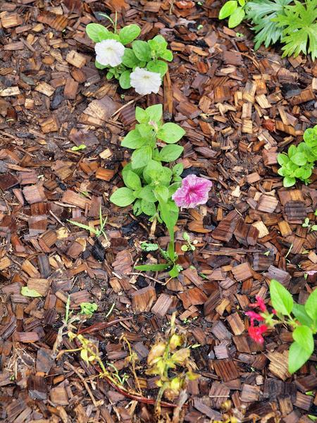 Petunias.jpeg
