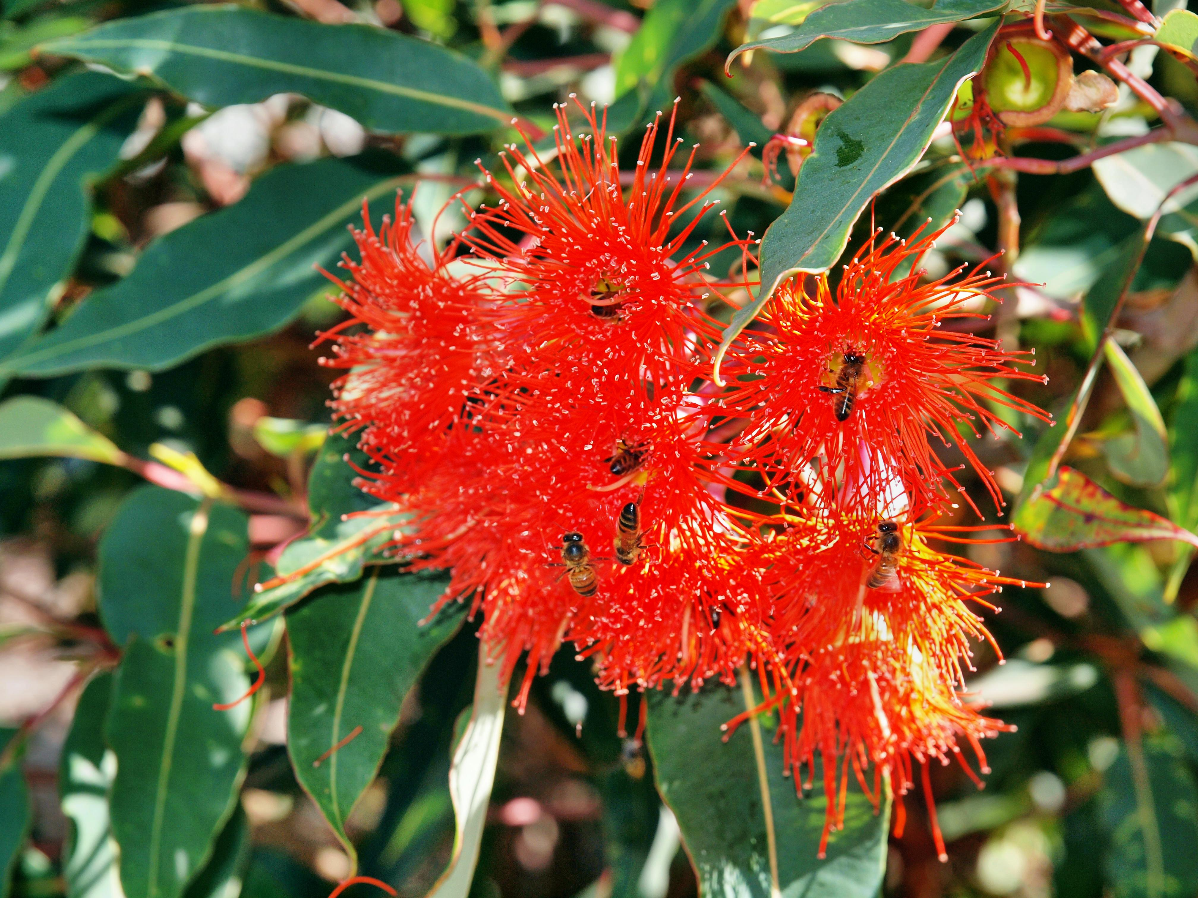 Eucalyptus-flower.jpeg