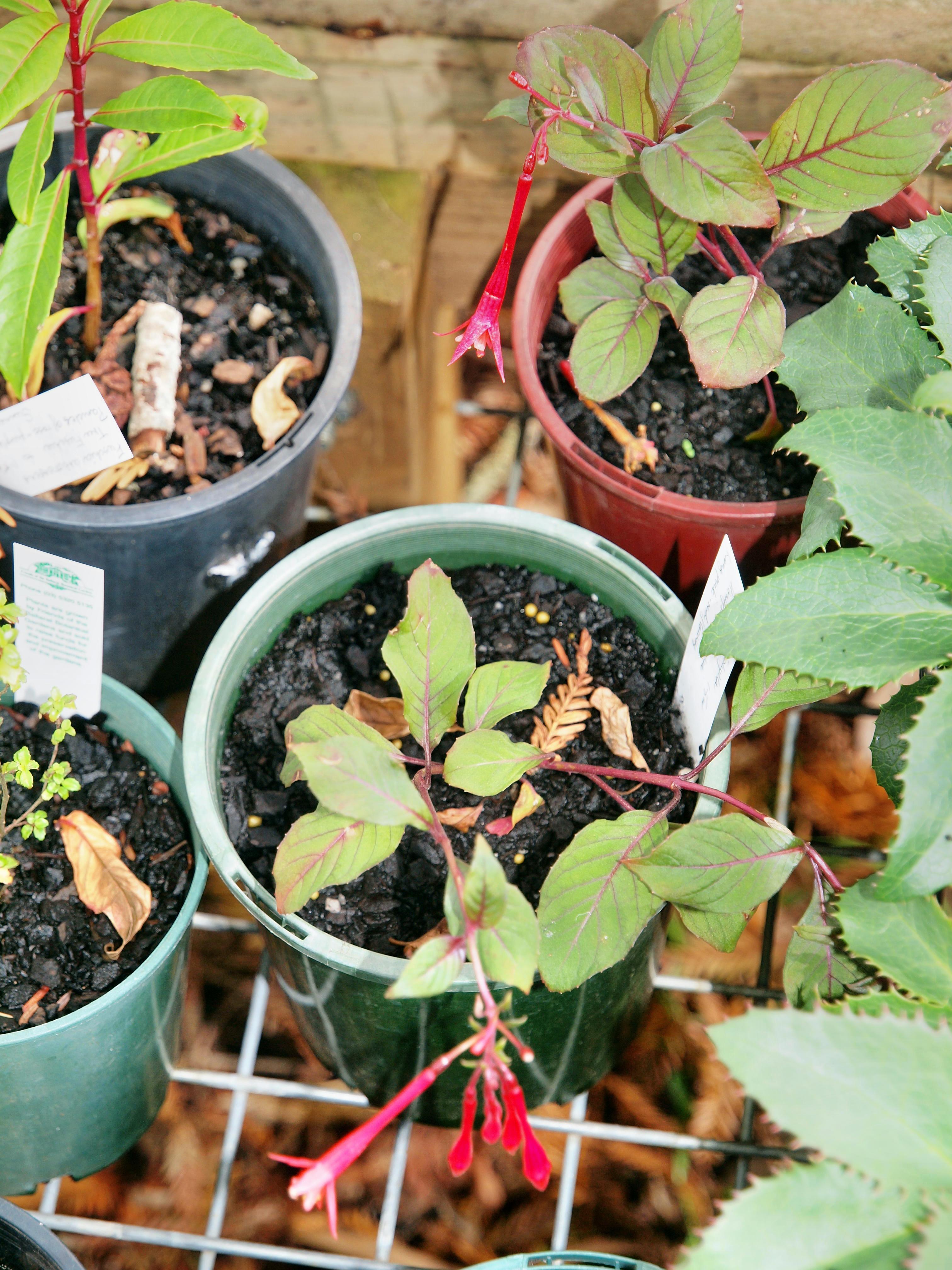 Fuchsia-triphylla-1.jpeg