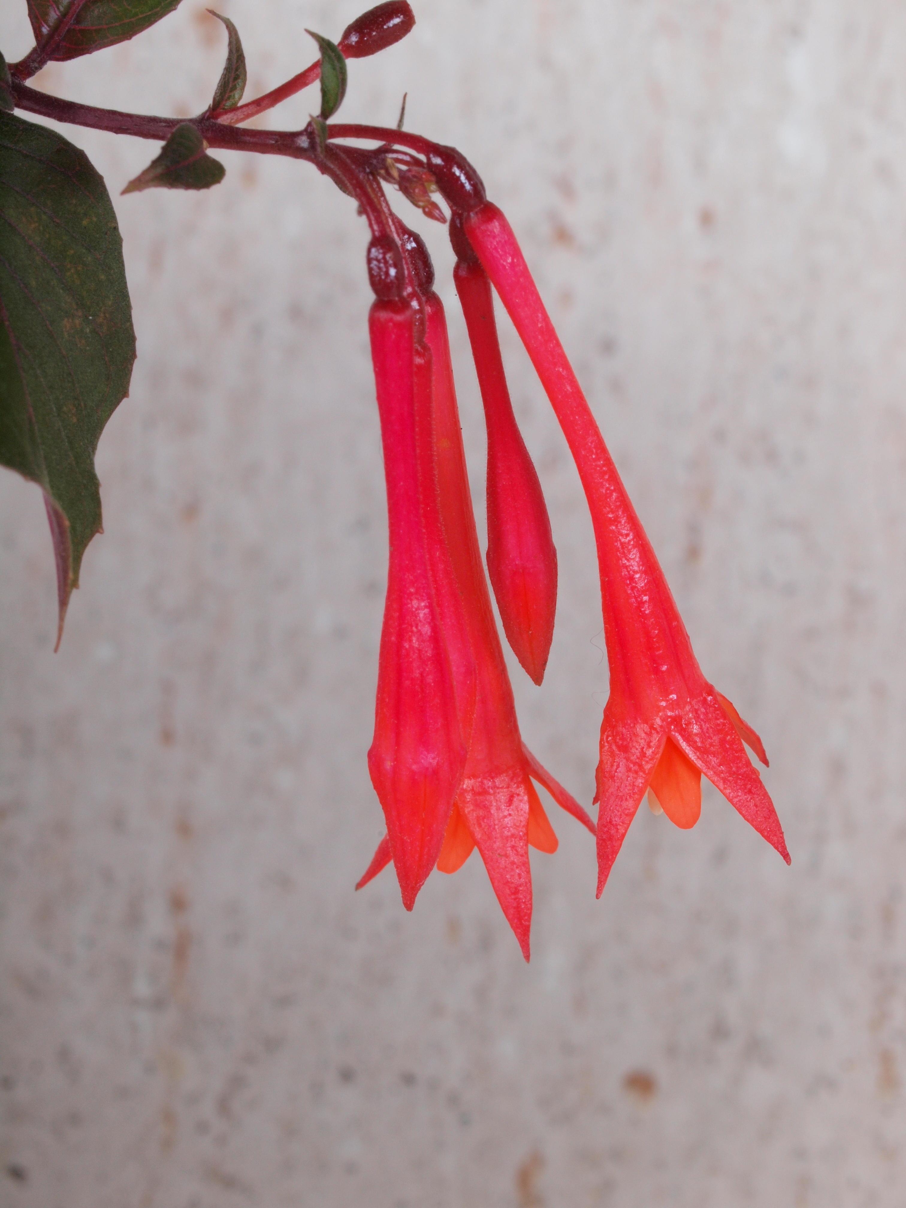Fuchsia-triphylla-3.jpeg