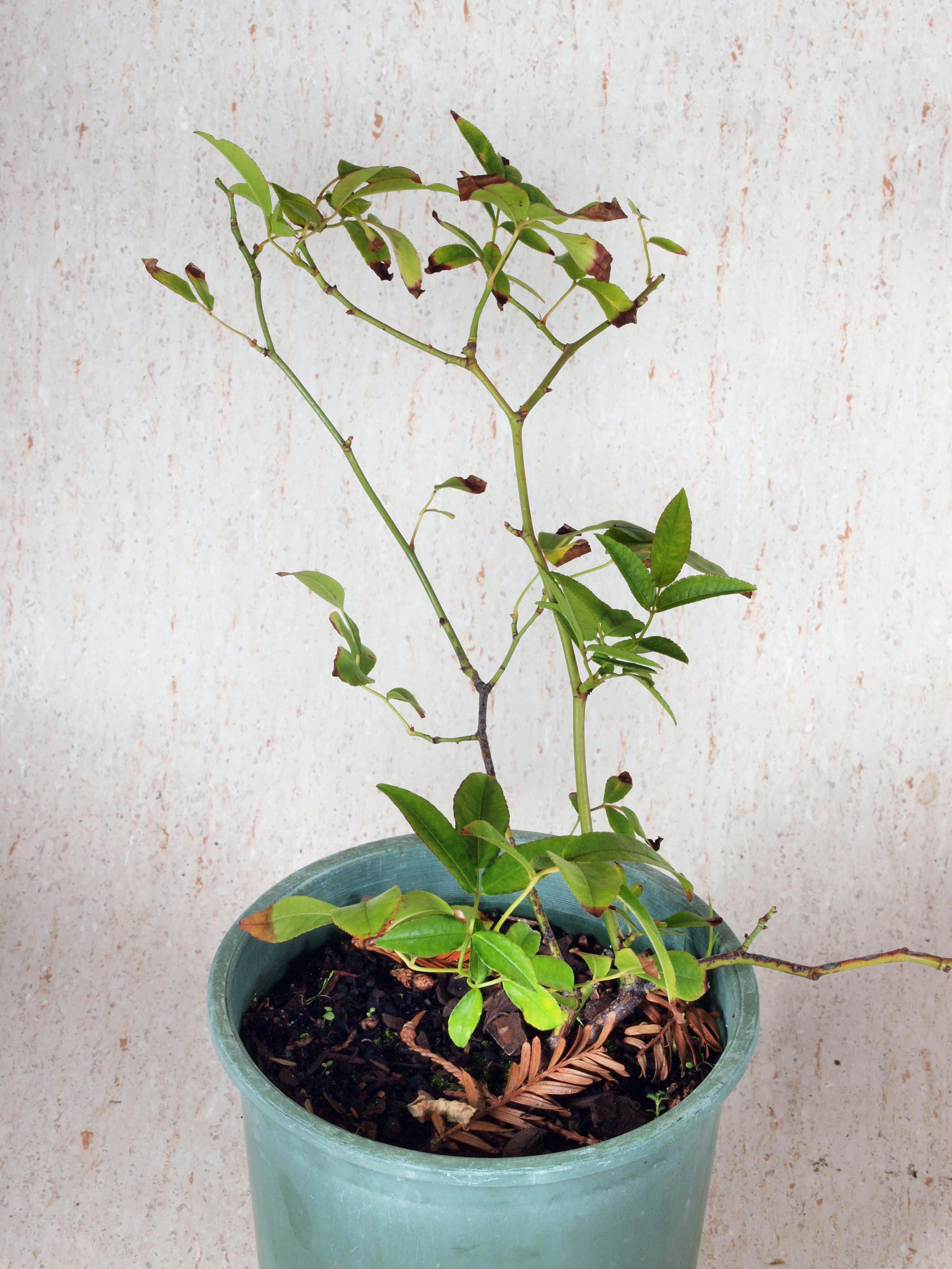 Rosa-banksiae-2.jpeg