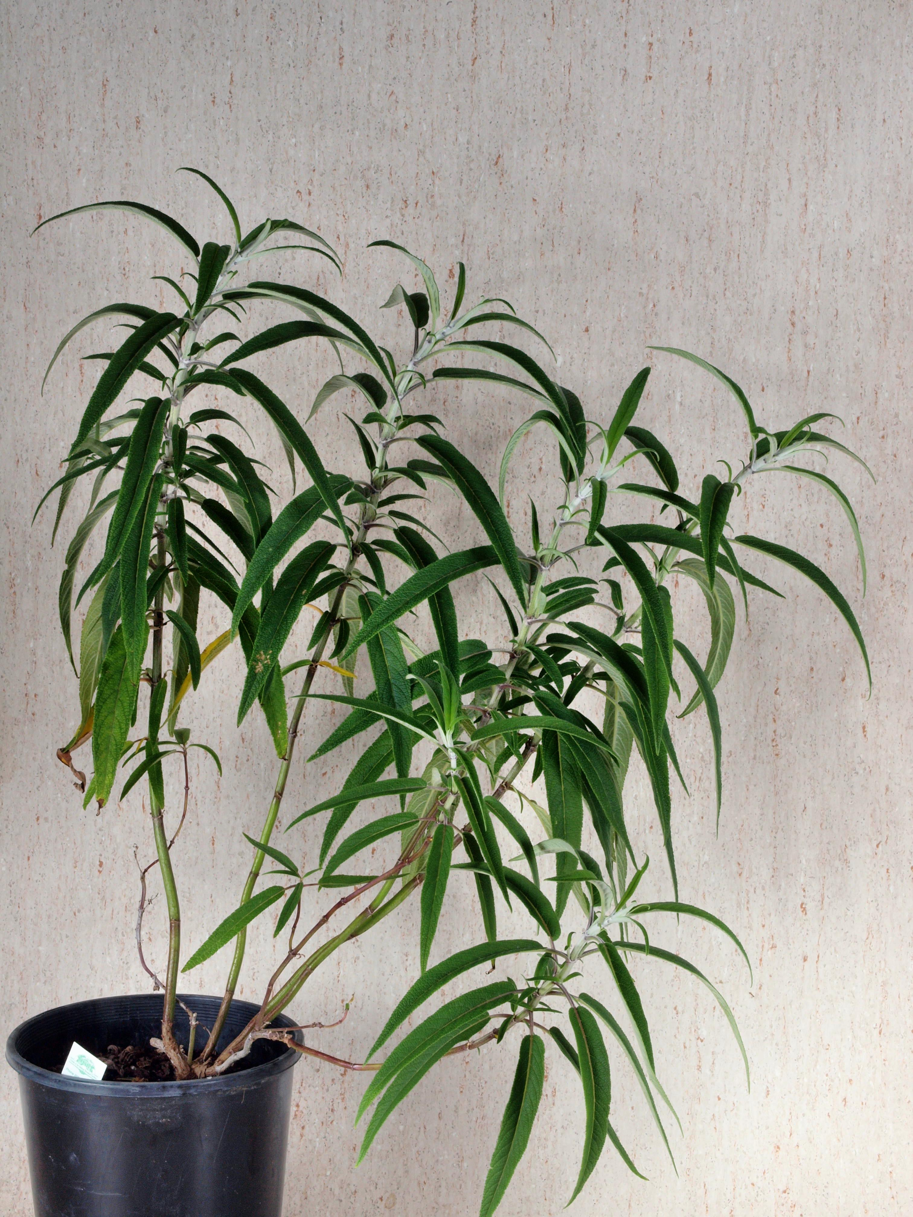 Salvia-leucantha-2.jpeg