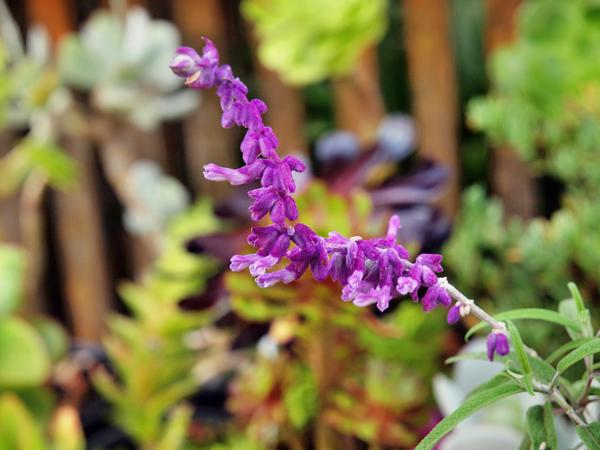 Salvia-leucantha-1.jpeg