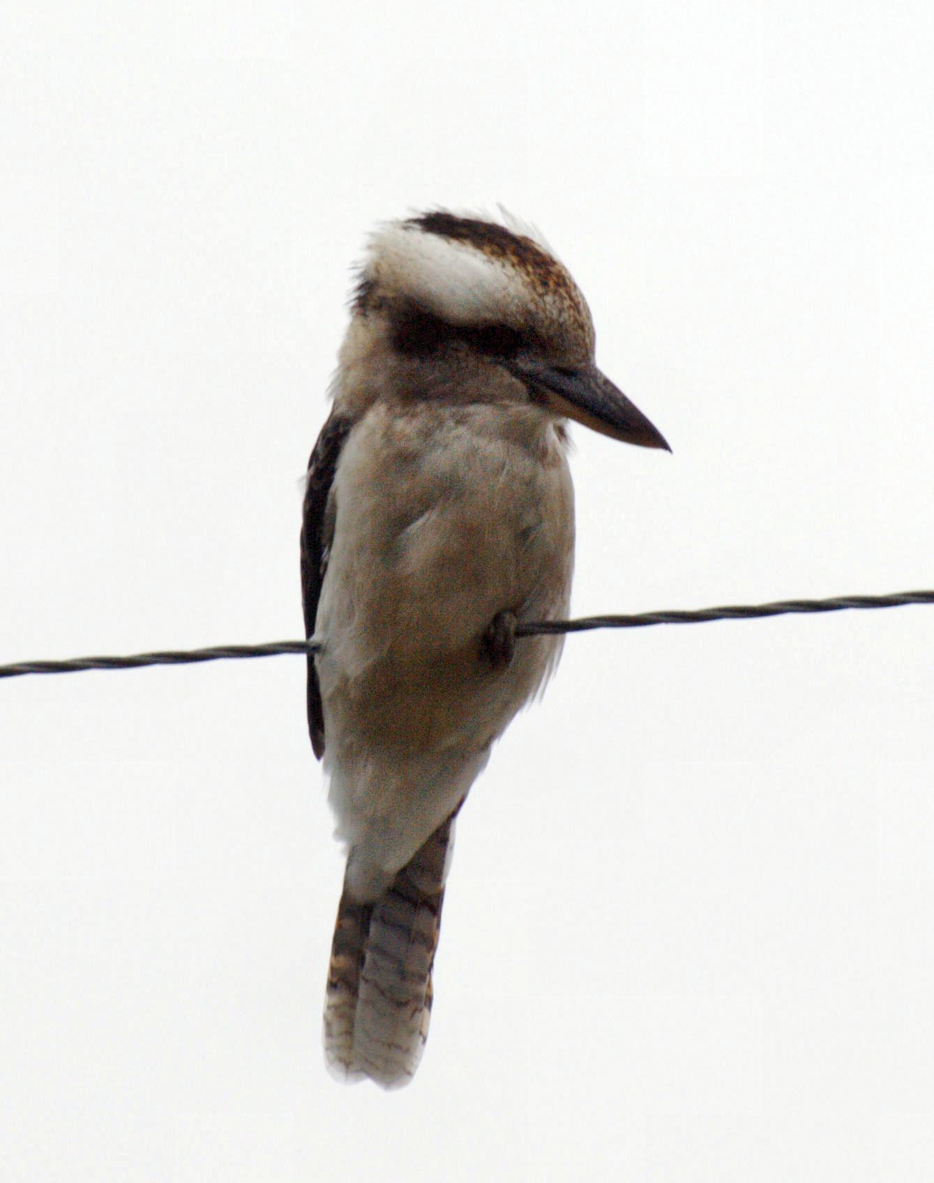 Kookaburra-2.jpeg